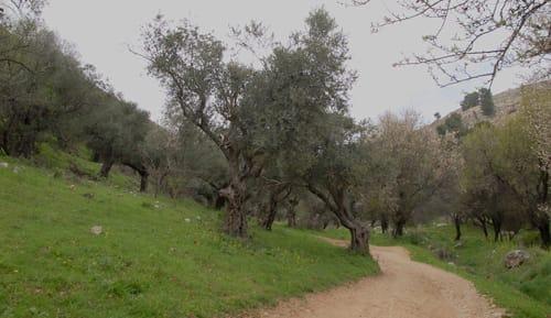ואדי ראש פינה - עצי זית ושקדיות